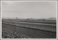 [Japanese truck farms, Centinela Avenue and Ballona Creek; uplifted beach in background]