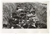 Deceased cows in a ditch, circa 1924