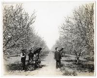 Men and women in a prune orchard, Santa Clara County, California