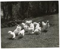 A flock of chickens