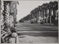 Street (4th?) lined with palms