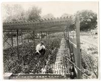 Agricultural worker cultivating orange trees in beds