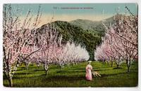 Almond Orchard in Blossom