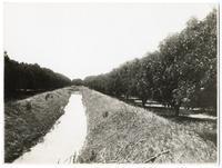 Fig Orchard, Modesto Irrigation District, California