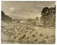 Beef Cattle, Willits