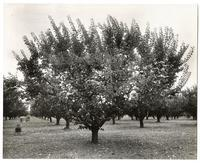Apricot orchard in the summer