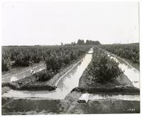 Irrigation canals in a San Jooaquin Valley grape vineyard