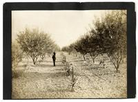 Almond Orchard near Sacramento, California