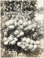 Cluster of grapefruit, Riverside, California