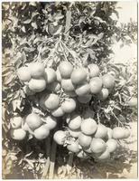 Cluster of grapefruit, Riverside, California