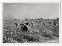Picking cotton in Fresno County, near Kerman