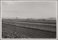 Japanese truck farms, Centinela Avenue and Ballona Creek; uplifted beach in background