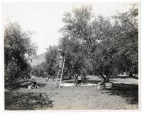 Agricultural workers harvesting ripe olives in Los Angeles, California