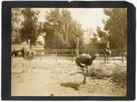 Ostrich Farm, San Jose, California