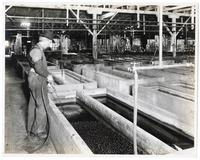 Worker stirring olives with compressed air