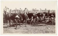 Norwalk Ostrich Farm, California