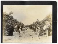 Agricultural workers picking oranges, California