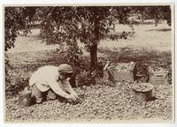 Agricultural worker harvesting prunes