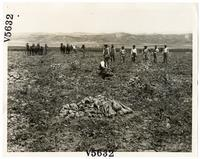 Agricultural laborers harvesting sugar beets in Los Angeles County, California