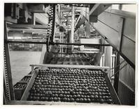 Oranges in the water bath at a California Fruit Growers Exchange packing house