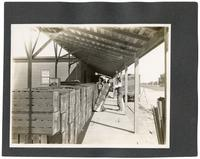 Workers loading an orange train, California