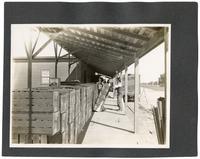 Workers loading an orange train, California