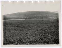 Alfalfa field and orange grove near Porterville, Tulare County