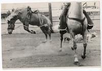 Cowboy thrown from bucking horse