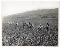Agricultural workers at an onion seed farm in Santa Clara County, California