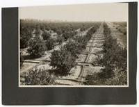 An orange tree orchard
