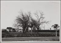 Huntington Drive, row of black walnut trees used to be entrance to Mr. Mulberry's place