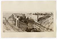 Corralling cattle, circa 1924