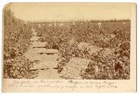 Chinese laborers harvesting grapes in a Riverside vineyard