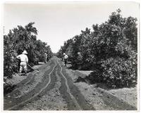 Agricultural workers irrigating an orange tree grove, Los Angeles, California
