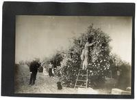 Agricultural workers with a dog picking oranges in California
