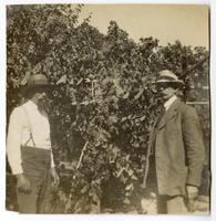 Men standing among a crop of grapes