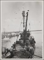 Fish harbor at Terminal Island, Slavonian and other fisherman arriving