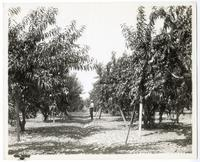 Man standing in a peach orchard