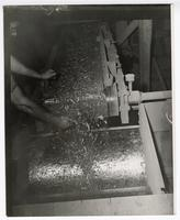 Guayule shrub being crushed in a factory before going to the mills