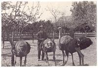 Ostrich farm, Los Angeles, circa 1888