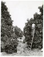Agricultural workers harvesting avocados from the Calavo Grove
