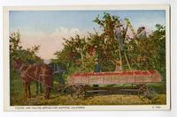 Picking and Hauling Apples for Shipping, California