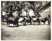 J.H. Glide & Sons' Prize Herd of Short Horns California State Fair 1904