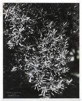 Flowering olive branch, California