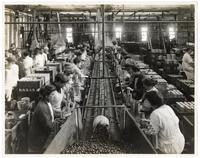 Women workers filling cans with ripe olives, San Jose, Santa Clara County, California