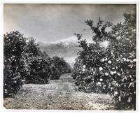 In the orange groves, Los Angeles County