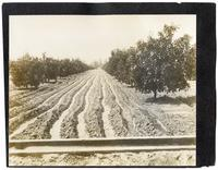Irrigating oranges, California