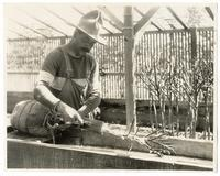 Agricultural worker scrubbing balled orange trees with brush and lather