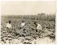 California Agriculture