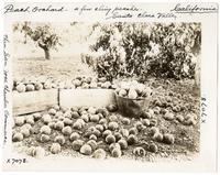 Peach orchard, Santa Clara Valley, California